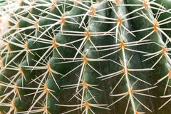 Cactus hermoso Imagen de archivo