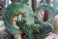 Cactus hermoso en el jardín botánico de Giardini Ravino en los isquiones isla, Italia foto de archivo