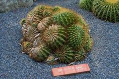 Cactus hermoso en el jardín botánico de Giardini Ravino en los isquiones isla, Italia imagen de archivo