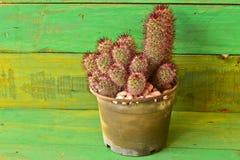 Cactus hermoso en maceta vieja negra con el fondo de madera verde Foto de archivo libre de regalías