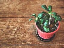Cactus hermoso en pote rojo en la tabla de madera, la luz oscura y el estilo del vintage, imágenes de archivo libres de regalías