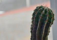 Cactus hermoso, verde con el fondo borroso fotos de archivo