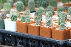 Cactus het groeien in potten Stock Fotografie