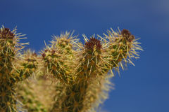 Cactus in het Nationale Park van de Doodsvallei, Californië Royalty-vrije Stock Foto's