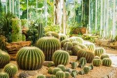 Cactus in het tuinieren huis Royalty-vrije Stock Afbeelding