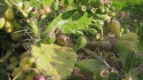 Cactus, higo chumbo en web metrajes