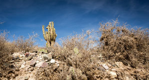 Cactus on a hill. Cactus on a rocky hill in salta argentina Royalty Free Stock Images