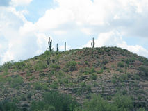 Cactus hill. In southwestern desert landscape with cloud Arizona United States in July Stock Images