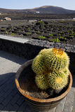 Cactus home viticulture winery lanzarote spain la geria. Vine grapes wall crops cultivation barrel stock photo