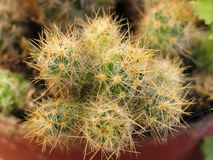 Cactus Houseplant Royalty Free Stock Photos