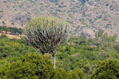 Cactus huge green big bush high like a tree Stock Photos