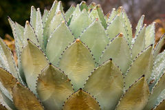 Cactus with ice Stock Image