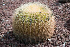 Cactus. The image of the cactus close up Stock Photo