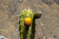 Free Cactus In Blossom With A Yellow Flower Royalty Free Stock Photo - 184406275