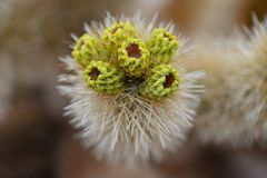 Cactus In Joshua Tree National Park Stock Photography