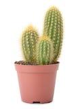Cactus In Pot Royalty Free Stock Photos