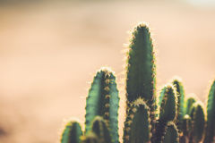 Cactus In The Garden With Vintage Style Picture Royalty Free Stock Photography