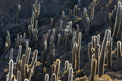 Cactus, Incahuasi island Stock Photo