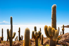 Cactus on Incahuasi island, Salar de Uyuni, Altiplano, Bolivia Royalty Free Stock Photography