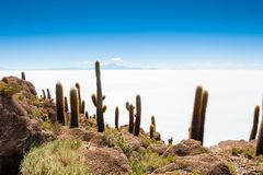 Cactus on Incahuasi island, Salar de Uyuni, Bolivia Royalty Free Stock Photo