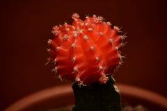Cactus injertado rojo imagenes de archivo