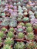 Cactus injertados imágenes de archivo libres de regalías