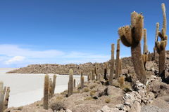 Cactus on Isla Incahuasi. Isla Incahuasi, is a hilly and rocky outcrop of land and former island in Bolivia situated in the middle of Salar de Uyuni, the world`s Stock Photos