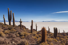 Cactus on Isla Incahuasi Stock Photo