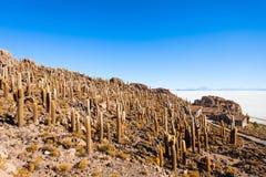 Cactus Island, Uyuni Stock Image