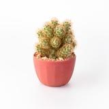 Cactus Isolate on white background Stock Photo