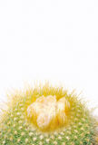 Cactus isolated. Stock Images