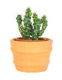 Cactus on isolated background ( Cereus hexagonus Mill ) Royalty Free Stock Image