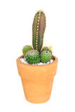 Cactus on isolated background ( Cereus hexagonus Mill ) Stock Photos