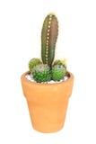 Cactus on isolated background ( Cereus hexagonus Mill ) Stock Photos