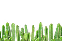 Cactus on isolated background Royalty Free Stock Images