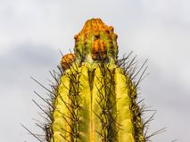 Cactus isolated on clouds background. Cactus close up isolated against a clouds blue background Royalty Free Stock Image