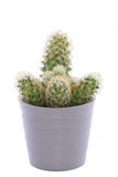 Cactus Isolated Royalty Free Stock Photos