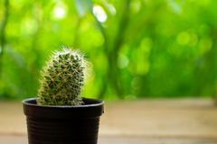 Cactus Isolated on green Background stock photo