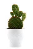 Cactus isolated on white Royalty Free Stock Images