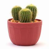 Cactus isolated royalty free stock photo