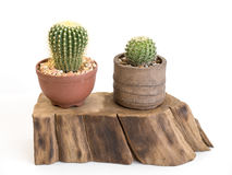 Cactus isolated Stock Image