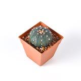 Cactus isolated on white background. Cactus isolated on a white background Royalty Free Stock Images