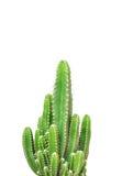 Cactus isolated on white background Stock Photos