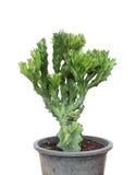 Cactus isolated on white background. Stock Images