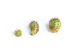 Cactus isolated on white background. Royalty Free Stock Image