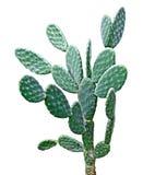 Cactus isolated on white Stock Image