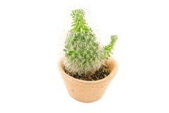Cactus isolato Fotografia Stock