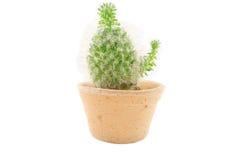 Cactus isolato Fotografie Stock Libere da Diritti