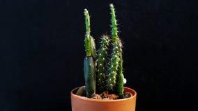 Cactus isolato Immagini Stock Libere da Diritti