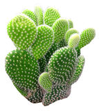Cactus isolato Fotografie Stock